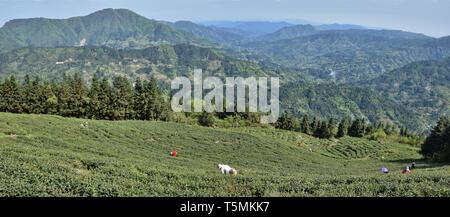 Tea plantations high in the mountains in  Guizhou province in China. - Stock Photo