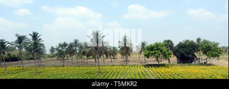 Chrysanthemums farm in Tamil Nadu, India. - Stock Photo