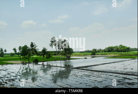 Vast paddy fields before transplanting stage in Tamil Nadu, India. - Stock Photo