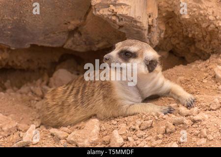 A meerkat hanging out on the rocks in the desert (Suricata suricatta). - Stock Photo