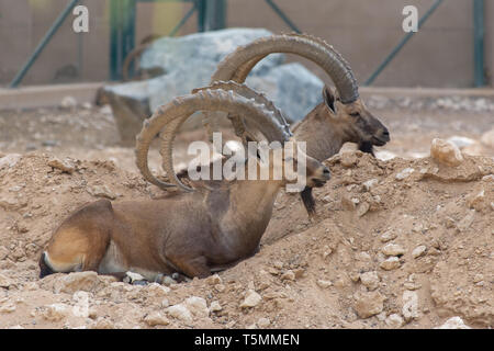 Two Male Nubian Ibexes at the Al Ain Zoo relaxing in the desert sand with impressive horns (capra nubiana). - Stock Photo