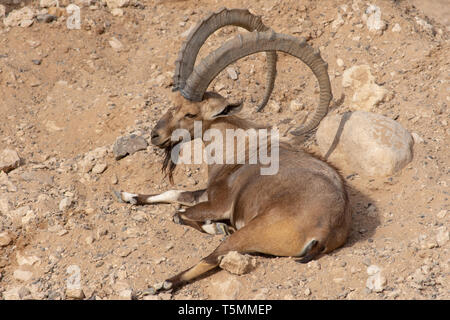 Male Nubian Ibex relaxing in the desert sand with impressive horns (capra nubiana). - Stock Photo