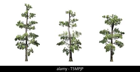 Set of Eastern White Pine trees - isolated on a white background - Stock Photo