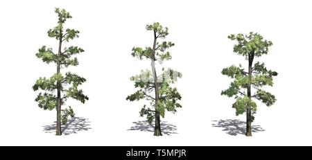 Set of Eastern White Pine trees with shadow on the floor - isolated on a white background - Stock Photo