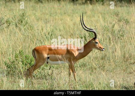 Aepyceros melampus, impala, Impalas - Stock Photo