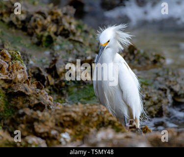 Snowy egret fishing in the shallow waters - Stock Photo