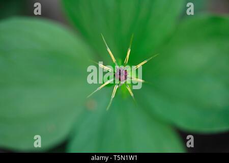 Paris quadrifolia, the herb-paris or true lover's knot, a traditional medicinal plant - Stock Photo