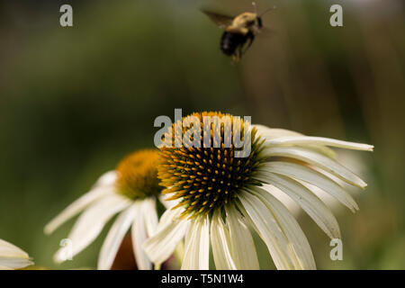 Bee flying away after collecting pollen from a patch of wild flowers. - Stock Photo