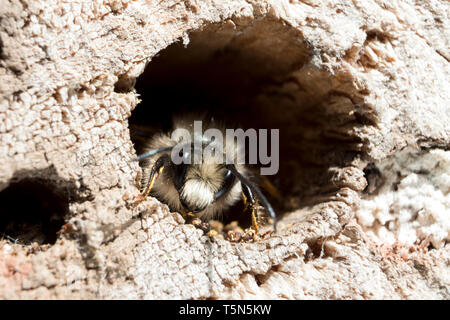 Red Mason Bee (Osmia bicornis) preparing to leave his nest in a drilled log bee hotel. - Stock Photo