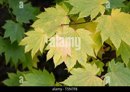 Acer japonicum 'Full Moon Magic' leaves in Autumn. - Stock Photo