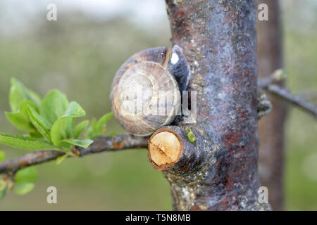 Snail shell on the plum tree in the garden. image of a a - Stock Photo