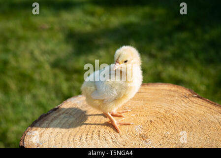 Little chick in spring sitting on wood. - Stock Photo