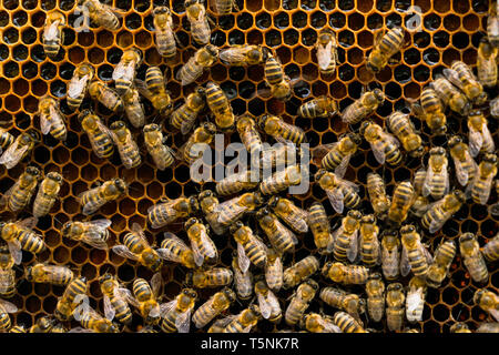 Close up view of the working bees on honey cells. Bees convert nectar into honey and close it in the honeycomb. Selective focus - Stock Photo