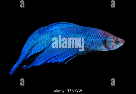 Blue siamese fighting fish isolated on black background - Stock Photo