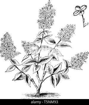 This picture is showing a Habit and Detached Single Flower of Hydrangea Paniculata Grandiflora stem, leaves & star shaped flowers native to southern a - Stock Photo