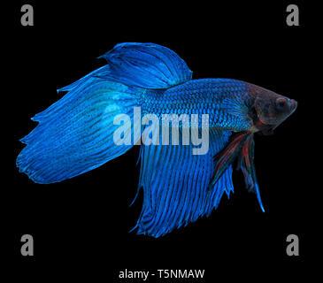 Blue siamese fighting fish, betta splendens, isolated on black background - Stock Photo
