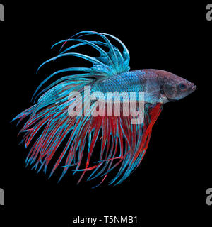 Blue and red colored siamese fighting fish, betta splendens, isolated on black background - Stock Photo