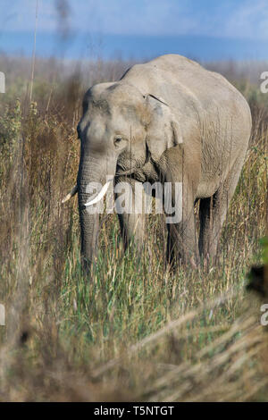 Asian elephant or Asiatic elephant or Elephas maximus eating grass at Jim Corbett National Park at Uttarakhand in India - Stock Photo