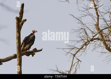 Red-headed Vulture or Sarcogyps calvus or Asian King Vulture at Jim Corbett National Park Uttarakhand Nainital India - Stock Photo