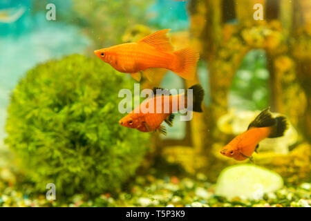 Tropical colorful fishes swimming in aquarium with plants. fish in freshwater aquarium with green beautiful planted tropical. - Stock Photo