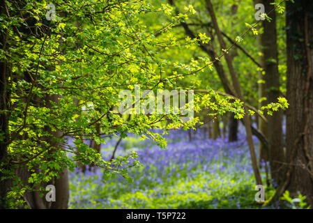 English woodland scene in spring sunshine with fresh new leaves and indigenous bluebells carpeting the floor. - Stock Photo