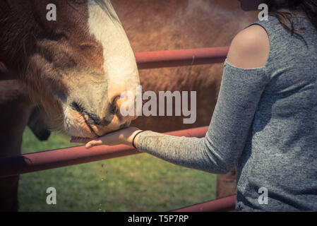 Woman hand feeding Belgian Heavy Horse at farm in North Texas, America - Stock Photo