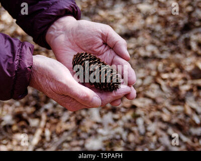 Mature man's hands trustfully offering cone with autumn leaves on the ground in the background - Stock Photo