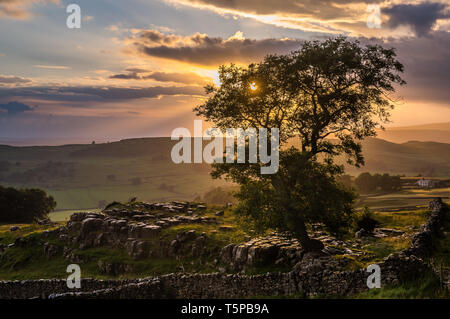 A lone tree growing through the limestone pavements on the moors near Winskill Stones in the Yorkshire Dales National Park - Stock Photo