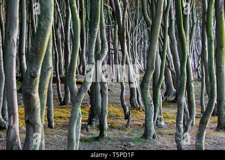Beech trees at Darß / Darss west coast, Fischland-Darß-Zingst, Western Pomerania Lagoon Area NP, Mecklenburg-Western Pomerania, Germany - Stock Photo