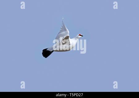 Rock ptarmigan (Lagopus muta / Lagopus mutus) male in flight in winter plumage, Scotland, UK - Stock Photo