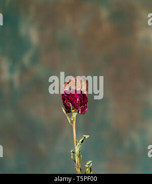 Eurasian harvest mouse (Micromys minutus) on dry plant - closeup with selective focus - Stock Photo