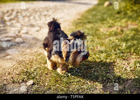 Yorkshire Terrier. Little cute dog on a walk in the park. Bright background with bokeh. - Stock Photo