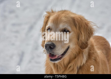 A close-up portrait of a beautiful smiling Golden Retriever dog standing happily in the snow on a bright, sunny day. - Stock Photo