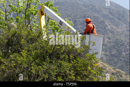 Tree Trimming Pruning - Stock Photo