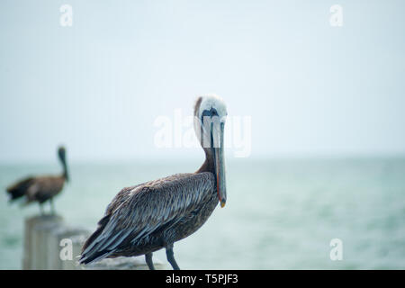 Pelican on pier post by sea. - Stock Photo