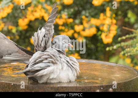 Stirlingshire, Scotland, UK. 26th Apr, 2019. UK weather - wood pigeons taking a shower on a showery day in Stirlingshire, holding wings upright one at a time allowing the rain to clean their feathers Credit: Kay Roxby/Alamy Live News - Stock Photo