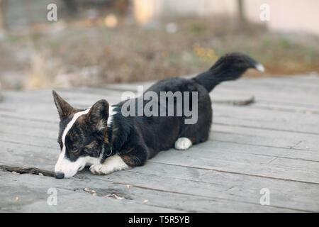 Corgi welsh cardigan puppy dog