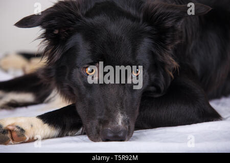 Sad and thoughtful purebred border collie dog lying on the bed. Cute friendly pet looking with smart eyes, indoors closeup portrait. Bored puppy waiti - Stock Photo
