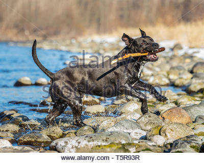 Black american staffordshire terrier running out of a river with a stick in its mouth. - Stock Photo