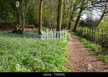 Footpath through bluebell woods in the Ashdown Forest near Danehill, near Haywards Heath, Sussex, England, United Kingdom, Europe - Stock Photo