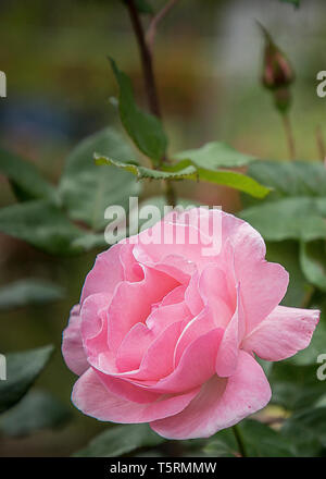 Close up of Pink rose on a dark background, garden fower - Stock Photo