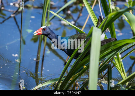 A colorful Purple Gallinule (Porphyrio martinicus) foraging in a pond. Houston, Texas, USA. - Stock Photo