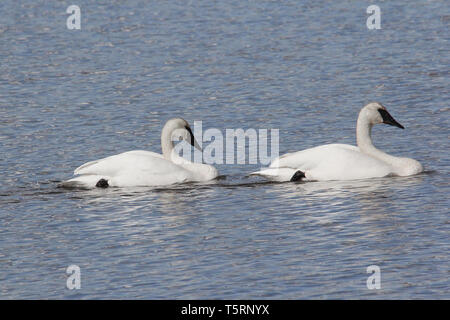 Trumpeter Swans (Cygnus buccinato) return to the Grande Prairie region of Alberta, and stop at  ponds of southern Alberta on their migration - Stock Photo