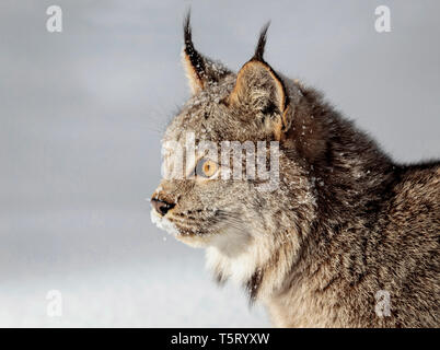 The Canada lynx is a North American wild cat family which ranges across Canada and into Alaska and some parts of the northern United States. - Stock Photo