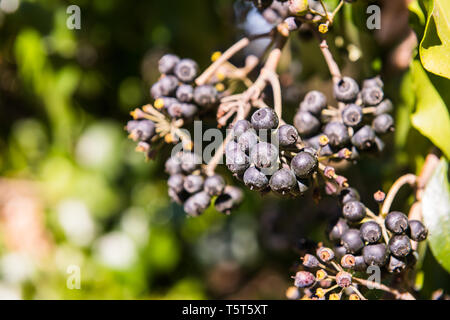 A wild black berry on one side of a road in Grimaldo, Caceres, Extremadura. - Stock Photo