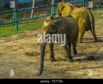 Tusked african bush elephant wiggling its body, zoo animal behavior, Vulnerable animal specie from Africa - Stock Photo