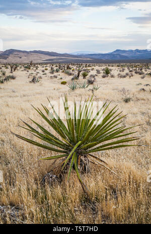 Mojave Yucca, Red Rock Canyons Conservation Area, Nevada, USA - Stock Photo