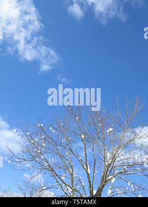 Looking Up at Snow Tipped Branches In the Winter on a Clear Blue Day - Stock Photo