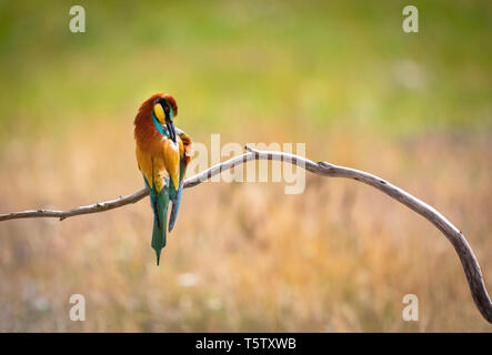 Portrait of a colorful bird on a branch preening - Stock Photo