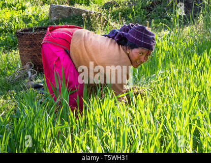 A woman collecting fodder for her animals in a barley field and simultaneously weeding the field - Uttarakhand region of the Himalayas Northern India - Stock Photo